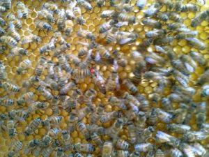 reine-abeille-miel